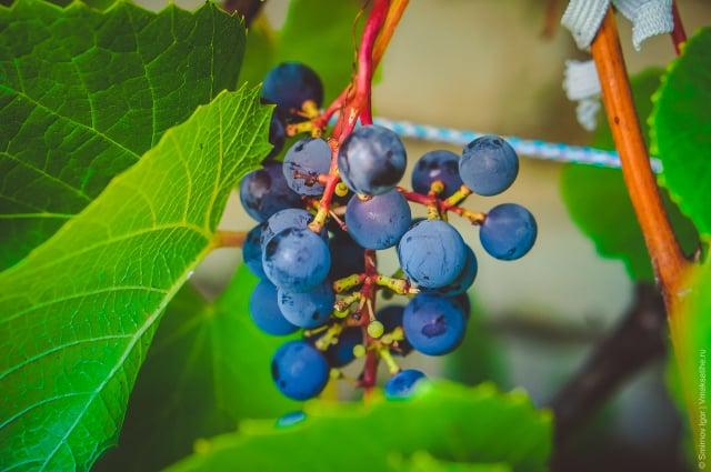 vinograd-2